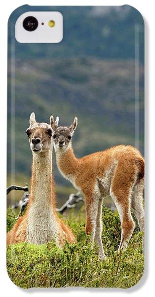 Llama iPhone 5c Case - Guanaco And Baby (lama Guanaco by Adam Jones