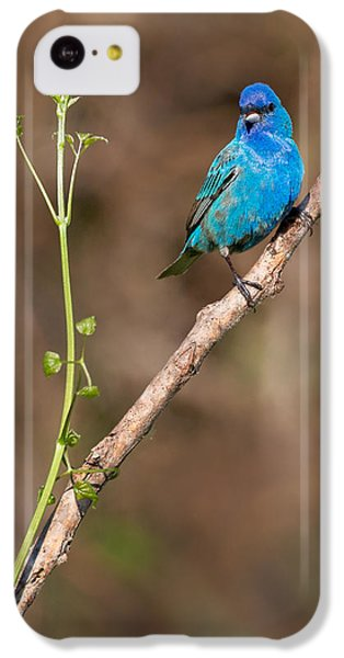 Indigo Bunting Portrait IPhone 5c Case by Bill Wakeley