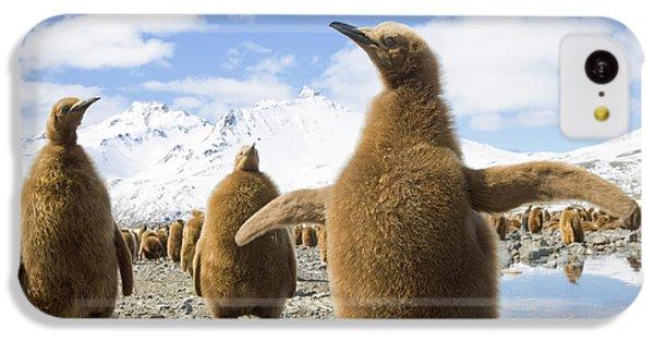 King Penguin Chicks South Georgia Island IPhone 5c Case