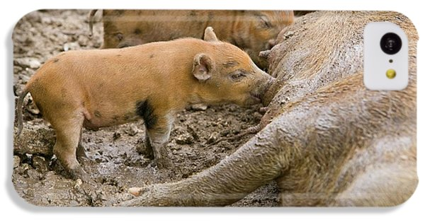 Pigs Reared For Pork On Tuvalu IPhone 5c Case by Ashley Cooper