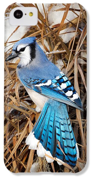 Portrait Of A Blue Jay IPhone 5c Case