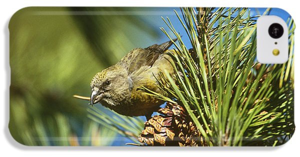 Red Crossbill Eating Cone Seeds IPhone 5c Case