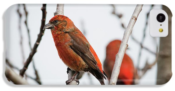 Red Crossbills Perch In A Willow IPhone 5c Case