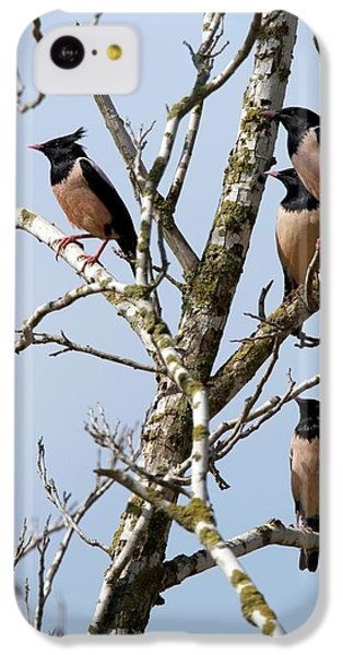 Starlings iPhone 5c Case - Rosy Starling (sturnus Roseus) by Photostock-israel