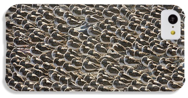 Semipalmated Sandpipers Sleeping IPhone 5c Case