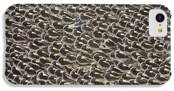 Semipalmated Sandpipers Sleeping IPhone 5c Case by Yva Momatiuk John Eastcott