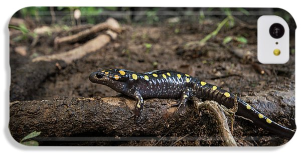 Salamanders iPhone 5c Case - Spotted Salamander (ambystoma Maculatum by Pete Oxford