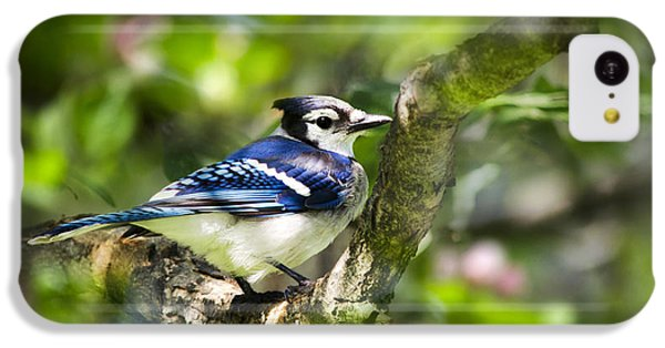 Spring Blue Jay IPhone 5c Case by Christina Rollo