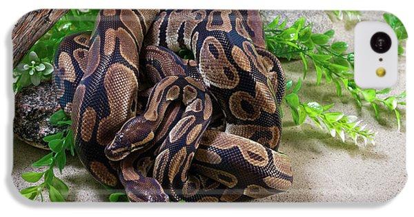 Python iPhone 5c Case - Two Burmese Pythons Python Bivittatus by Panoramic Images