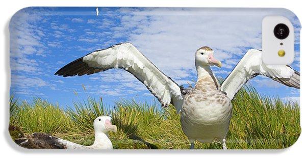 Wandering Albatross Courting  IPhone 5c Case by Yva Momatiuk John Eastcott