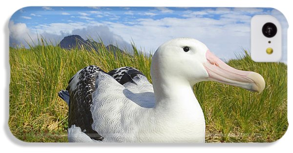 Wandering Albatross Incubating  IPhone 5c Case