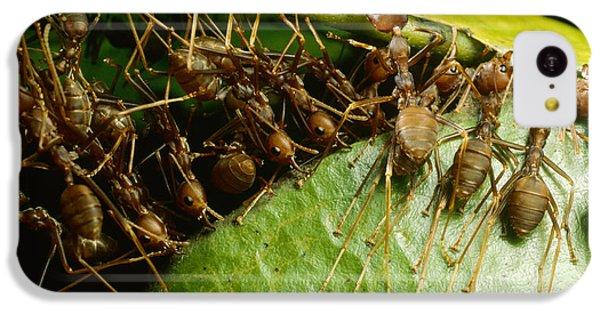 Weaver Ant Group Binding Leaves IPhone 5c Case by Mark Moffett