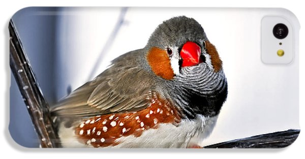 Finch iPhone 5c Case - Zebra Finch by Elena Elisseeva