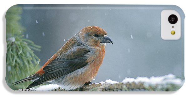 A Red Crossbill Loxia Curvirostra IPhone 5c Case
