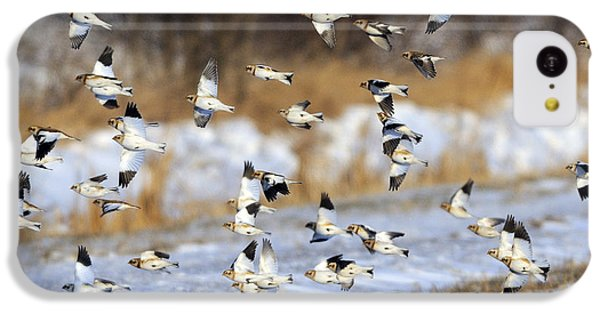 Snow Buntings IPhone 5c Case by Tony Beck