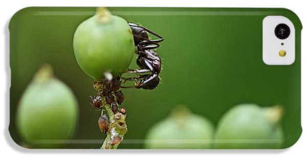 Ant iPhone 5c Case - Tending The Herd by Susan Capuano