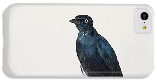 iPhone 5c Case - A Carib Grackle (quiscalus Lugubris) On by John Edwards