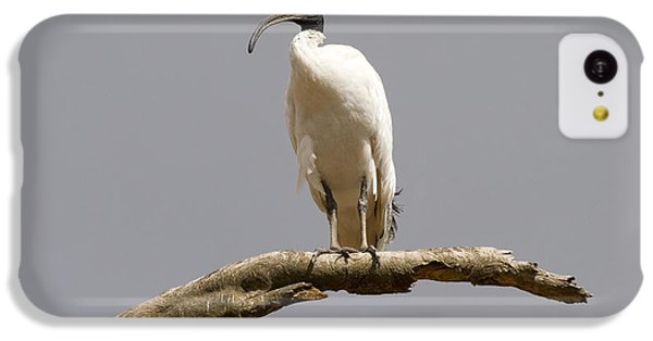 Ibis iPhone 5c Case - Australian White Ibis Perched by Mike  Dawson