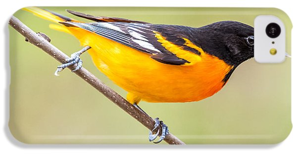 Baltimore Oriole IPhone 5c Case by Paul Freidlund