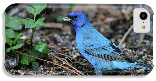 Beautiful Indigo Bunting IPhone 5c Case by Sabrina L Ryan