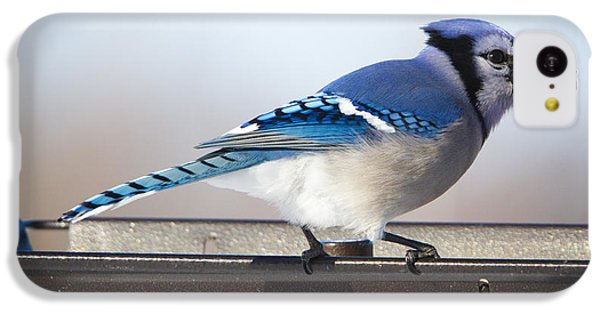 Blue Jay With A Mouth Full IPhone 5c Case