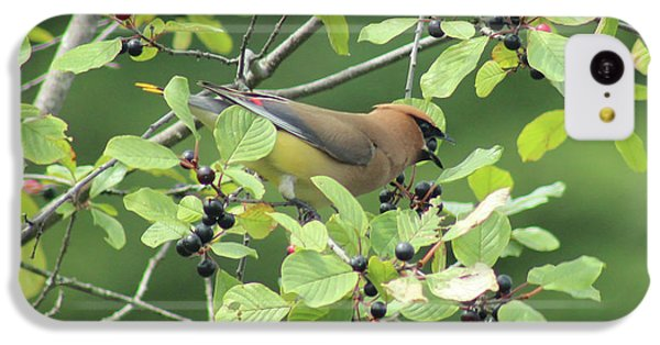Cedar Waxwing Eating Berries IPhone 5c Case by Maili Page