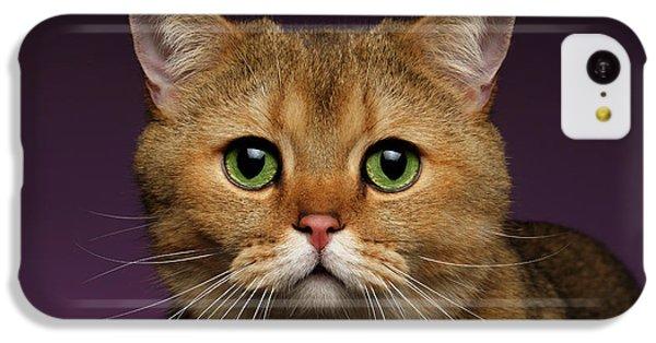 Closeup Golden British Cat With  Green Eyes On Purple  IPhone 5c Case by Sergey Taran