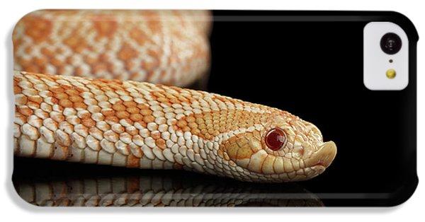 Closeup Pink Pastel Albino Western Hognose Snake, Heterodon Nasicus Isolated On Black Background IPhone 5c Case