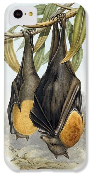 Grey Headed Flying Fox, Pteropus Poliocephalus IPhone 5c Case by John Gould