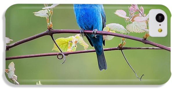 Indigo Bunting Perched Square IPhone 5c Case by Bill Wakeley