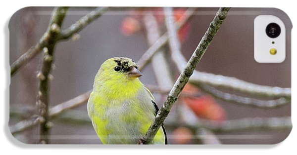 IPhone 5c Case featuring the photograph Molting Gold Finch Square by Bill Wakeley