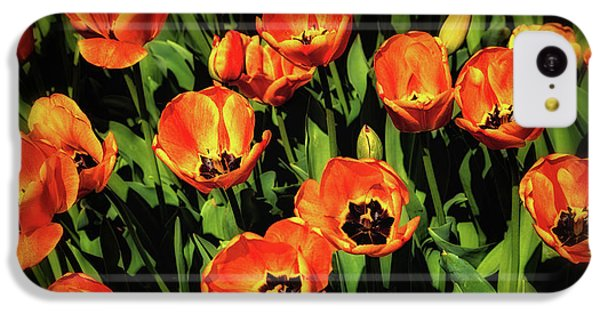 Tulip iPhone 5c Case - Open Wide - Tulips On Display by Tom Mc Nemar
