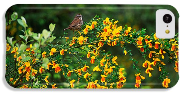 Song Sparrow Bird On Blooming Scotch IPhone 5c Case by Panoramic Images