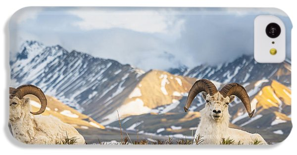 Two Adult Dall Sheep Rams Resting IPhone 5c Case by Michael Jones