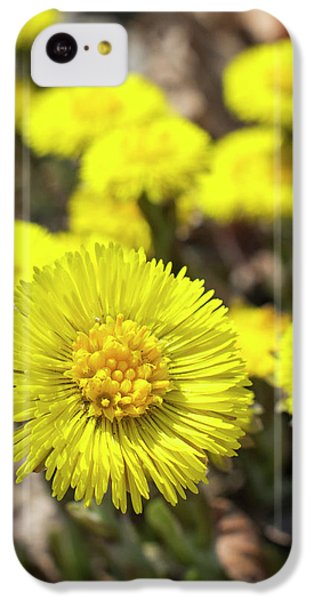Yellow Coltsfoot Flowers IPhone 5c Case by Christina Rollo