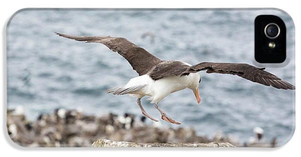 A Black Browed Albatross IPhone 5s Case by Ashley Cooper