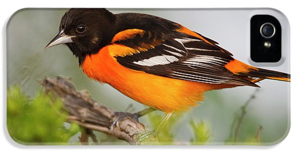 Oriole iPhone 5s Case - Baltimore Oriole Foraging by Larry Ditto