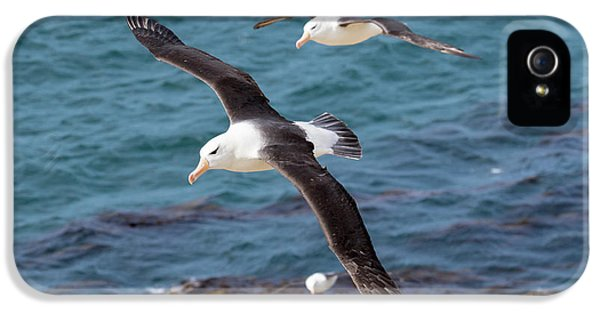 Black-browed Albatross (thalassarche IPhone 5s Case