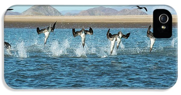 Blue-footed Boobies Feeding IPhone 5s Case by Christopher Swann
