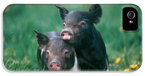 Domestic Piglets IPhone 5s Case
