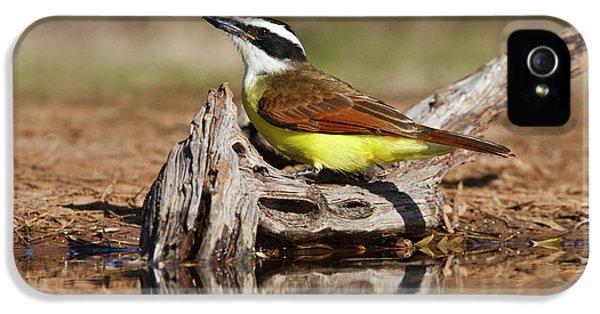 Flycatcher iPhone 5s Case - Great Kiskadee (pitangus Sulphuratus by Larry Ditto