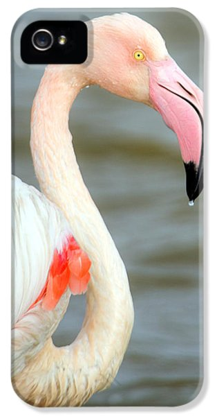 Greater Flamingo Phoenicopterus Roseus IPhone 5s Case by Panoramic Images