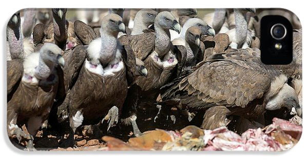 Griffon Vultures Feeding IPhone 5s Case