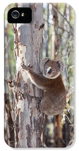 Koala Bear IPhone 5s Case by Ashley Cooper