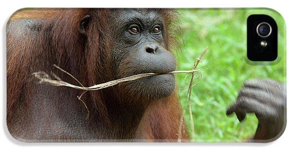 Malaysia, Borneo, Sabah, Kota Kinabalu IPhone 5s Case by Cindy Miller Hopkins