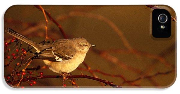 Northern Mockingbird Mimus Polyglottos IPhone 5s Case by Paul J. Fusco
