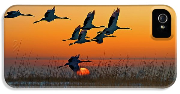 Crane iPhone 5s Case - Red-crowned Crane by Hua Zhu
