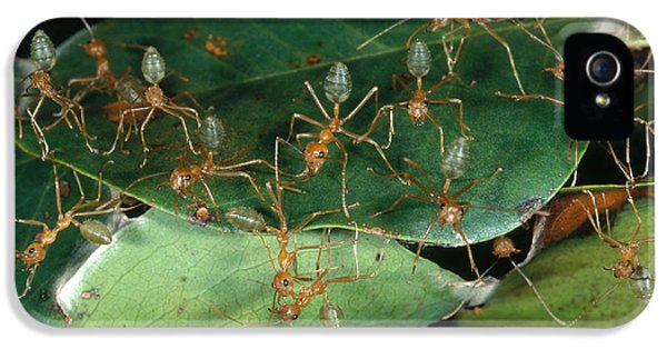 Weaver Ants IPhone 5s Case by Gregory G. Dimijian, M.D.