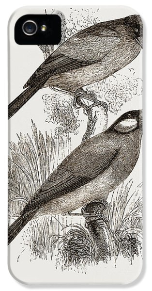 Crossbill iPhone 5s Case - Crossbills by Litz Collection