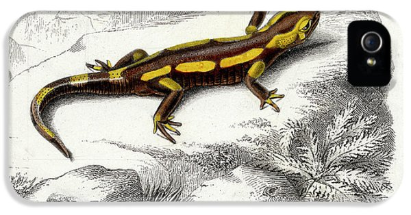 Salamanders iPhone 5s Case - Salamander by Collection Abecasis